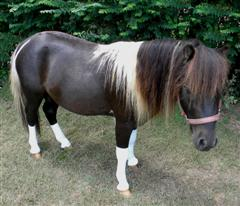 Jiminey Cricket, Mini stallion wearing Summer Whinnys